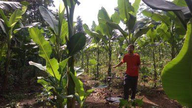 Photo of Ekspor Daun Pisang Batu Petani Kesulitan Butuh Perhatian Pemerintah